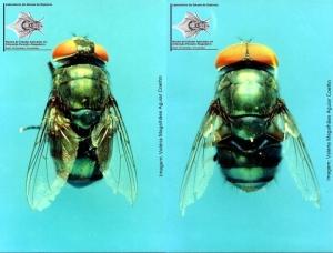 Chrysomya megacephala, fêmea (à esquerda) e macho (à direita), uma das espécies existentes no Brasil com potencial para utilização em terapia larval.